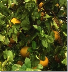 So I trotted out to the fields, and,  indeed got sopping wet and muddy. The challenging part of picking citrus in the rain is that every time you pull down the fruit, you are tipping all the leaves down towards yourself, dumping all their little troughs of collected water right onto  your head.
