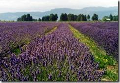 lavender-rows