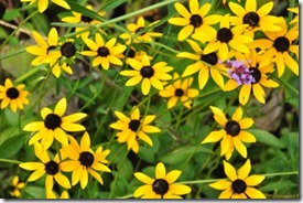 black-eyed-susans1-400x265